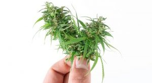 hand-holding-fresh-marijuana-isolated-on-white-8UFMDTD-300x207.jpg