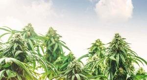 low-angle-of-medical-marijuana-cannabis-hemp-plant-against-sky-at-sunset-background-oil-bud-field_t20_rLKaOl-300x181.jpg